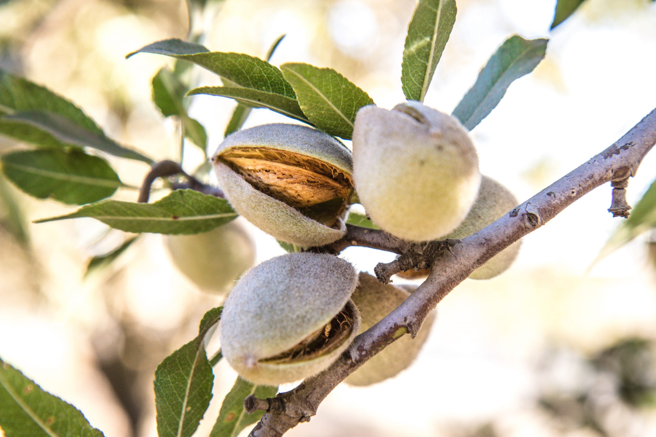 Mantelipuun eli tarhamantelin pähkinämäinen siemen on manteli